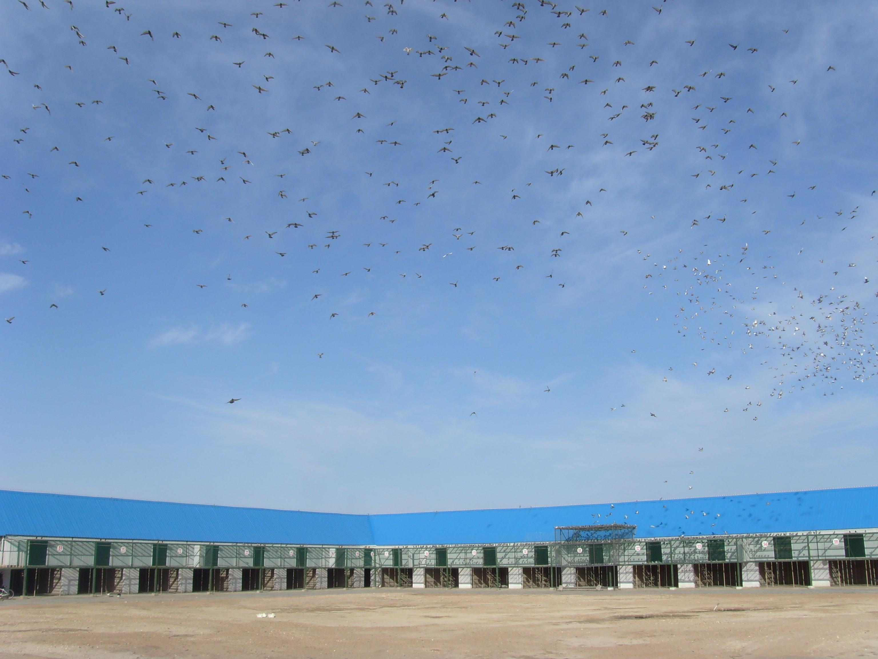 内蒙古包头市银海赛鸽公棚-公棚对外交流